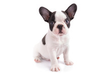 White And Black French Bulldog Puppy Over White Background