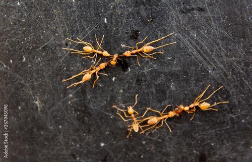 Fotografija  Red ants fight against invading enemies.