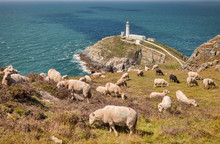 Sheep Grazing On The Cliff Top Above South Stack Lighthouse, Anglesey, Wales, UK