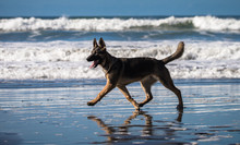 Happy German Shepherd Dog Runn...