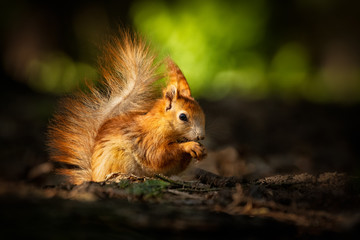 Cute young red squirrel in a natural park in warm morning light. Very cute animal, interesting about its surroundings, colorful, looking funny. Jumping and climbing trees, running, eating.