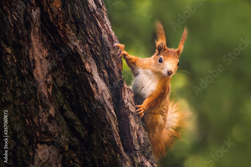 Fotobehang Eekhoorn Cute young red squirrel in a natural park in warm morning light. Very cute animal, interesting about its surroundings, colorful, looking funny. Jumping and climbing trees, running, eating.