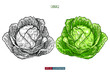 Hand drawn cabbage isolated. Template for your design works. Engraved style vector illustration.