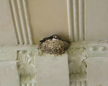 Swallow With Nestlings In The Nest On The Human House