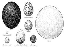 Collection Of Bird Eggs Illust...