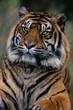 Tiger West Midlands Safari Park, UK