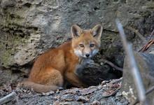 Red Fox Kit Vulpes Vulpes Stan...