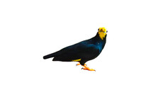 Golden-crested Myna Isolated O...