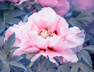 Panel Szklany Peonie Flowering tree peony pink in a beautiful garden.