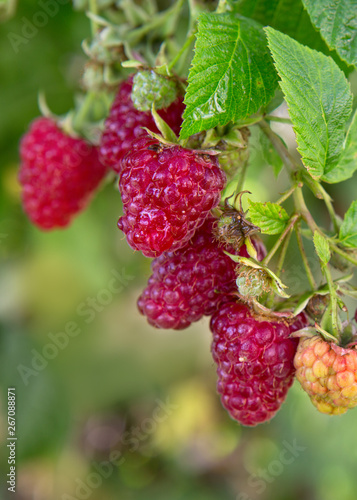 Fototapety, obrazy: Raspberries on a branch close up. Summer background.