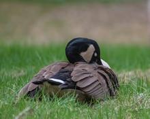 Sleeping Canada Goose On Green...