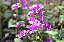 Lunaria Annua, Called Honesty Or Annual Honesty Blosooming Flowers. Violet, Purple Flowers, Floral Background