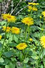 Doronicum Orientale Hoffm. (Leopard's Bane) - Plant Species In The Sunflower Family (Asteraceae). Yellow Flower Heads