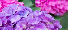 Pink And Blue Hydrangea In The Summer Garden.