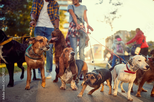 group of dogs in the park walking with dog walker.