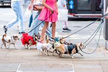 Many Small Chihuahua Dogs On Leash, Funny Walking With Walker Woman Girl In Pink Dress On Street Sidewalk In Chelsea Kensington Of London In Summer