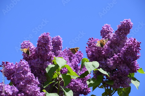 Papiers peints Lilac Butterfly Vanessa cardui on lilac flowers. Pollination blooming lilacs.