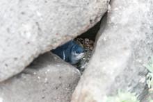 Little Penguin In Melbourne