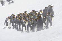 King Penguins Huddled Against ...