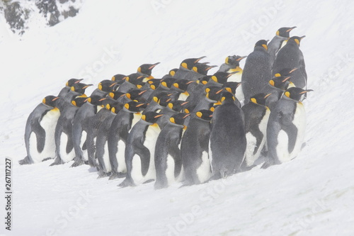 Fotobehang Pinguin King penguins huddled against the snow on South Georgia Island