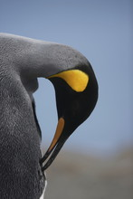 King Penguin Preening Its Feathers On South Georgia Island