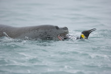 Leopard Seal Grabbing A King P...