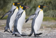 King Penguins Walking On South Georgia Island
