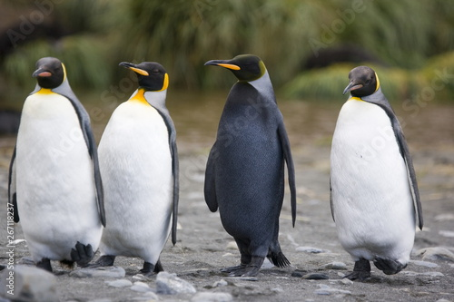 Melanistic penguin among normal king penguins on South Georgia Island Canvas-taulu