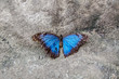 Blue Butterfly sits on a stone
