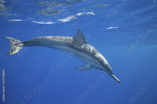 Fotografija Spinner dolphin underwater near Hawii