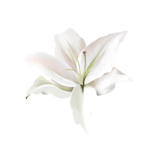 White Lily On White. Classical...