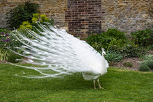 White Peacock Showing Off In T...