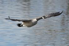 American Waterfowl. Canada Goo...