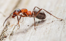 Closeup Of A Red Wood Ant. Concept Useful Insects.