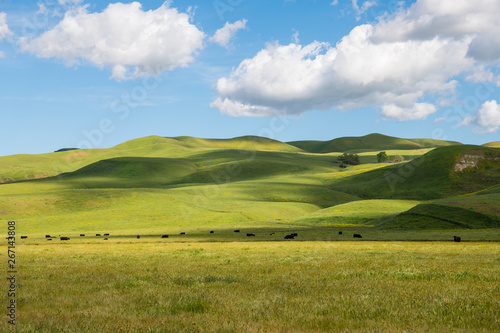 Fototapeta A herd of cattle grazing in sun-dappled lush green grasslands and rolling hills on a ranch in California under a beautiful blue sky with puffy white clouds obraz