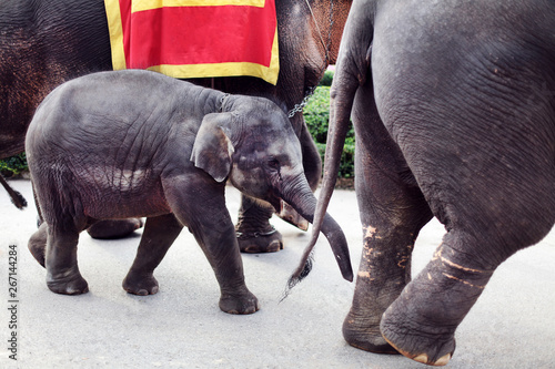 A beautiful little trained elephant goes with his mother to