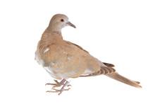 Eurasian Collared Dove (Streptopelia Decaocto) Isolated On White Background