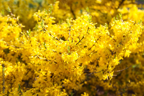 Blooming forsythia spring yellow beautiful bright flowers Fototapet