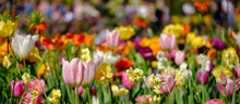 Brightly Coloured Tulips Photo...