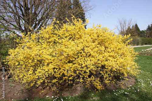 Fotografie, Tablou Blooming forsythia spring yellow beautiful bright flowers