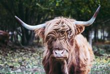 Vache Marron Aux Poils Longs E...