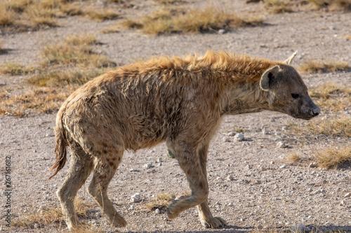 Foto op Aluminium Hyena Hyena On the Prowl, Amboseli National Park, Kenya