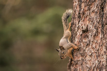 Douglas Squirrel On A Pine Tree