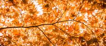 Panorama Banner Of Bright Orange Backlit Japanese Maple Leaves