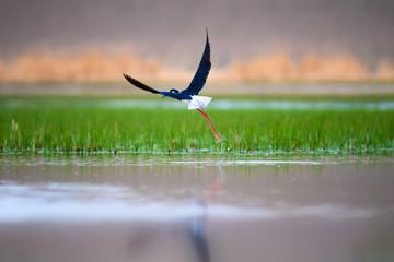 Fototapeta Łąka Beautiful waterfowl. Black winged Stilt. Green nature background.