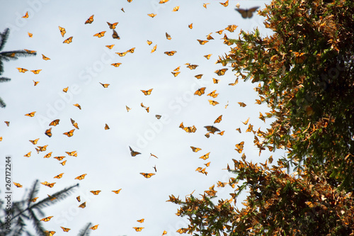 Stampa su Tela Monarch butterflies arriving at Michoacan, Mexico, after migrating from Canada
