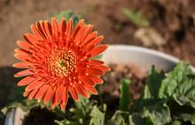 Beautiful Orange  Daisy Flower With Leaves
