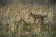 Coyote - Three Amigos