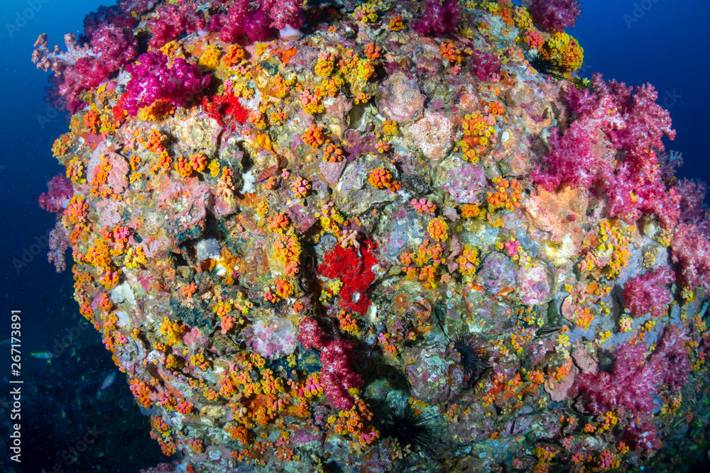 Beautifully colored soft corals on a tropical reef in the Mergui Archipelago