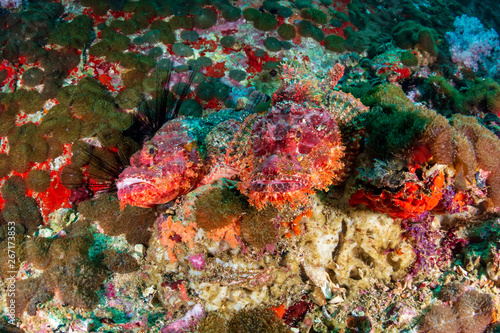 Staande foto Pair of camouflaged Scorpionfish on a murky coral reef in the Andaman Sea